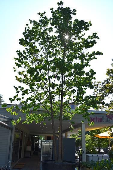 Solitärgehölze Blüten-Hartriegel | Cornus kousa