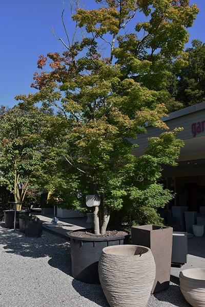 Solitärgehölze Japanischer Fächer-Ahorn | Acer palmatum