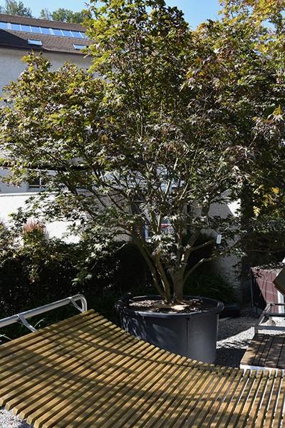 Solitärgehölze Fächer-Ahorn | Acer palmatum 'Bloodgood'