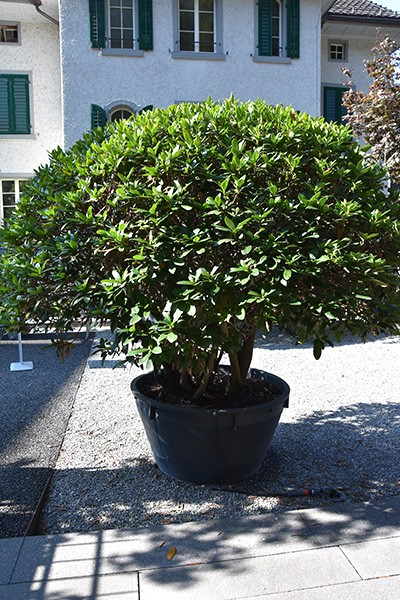Solitärgehölze Rhododendron cunningham white